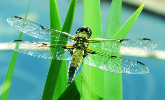 Sparkling transparent wings of a dragonfly